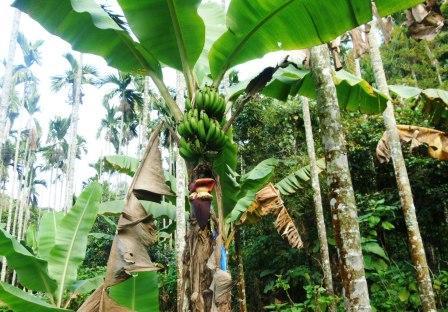バナナ農園