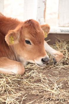 静岡県のおすすめ牧場 富士ミルクランド 牛写真家の牧場訪問記
