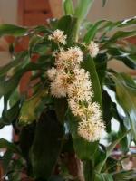 ドラセナの花