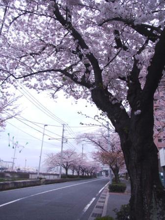小倉桜2014/3/29