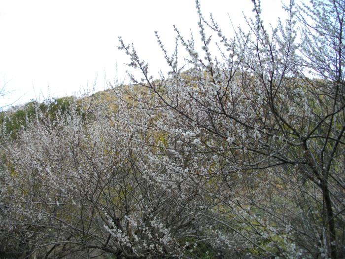 犬飼滝の近くに咲いていた梅