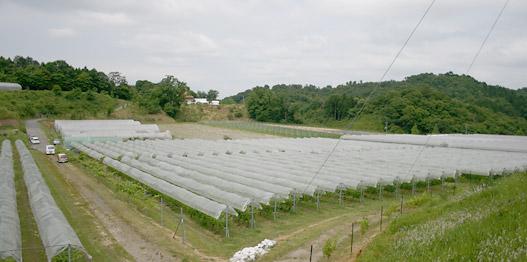 奥出雲葡萄園のぶどう畑
