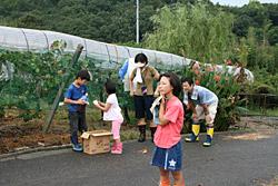 田中商店ぶどう畑 / ぶどう収穫風景