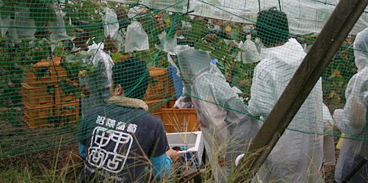 沼隈・田中商店のぶどう / 収穫風景