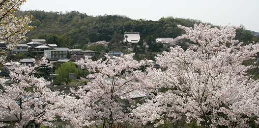 沼隈・桜の季節の天神山公園にて
