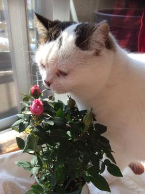 我が家の猫Unoと薔薇