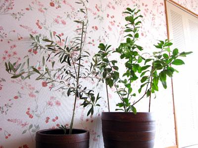 Albero di limoneレモンの木、Albero d'olivoオリーヴの木