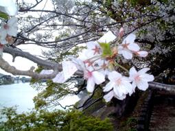 桜に結んだ