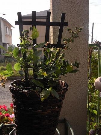 ブルーベリーの苗