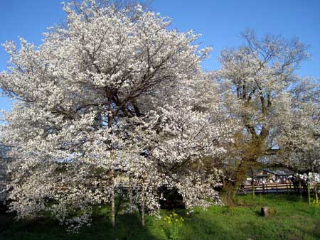 一心行の大桜 トップ