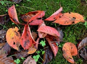 サクラ落葉