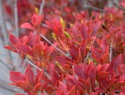 ドウダン紅葉