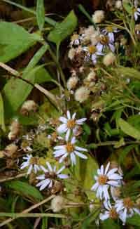 ノコンギク残花と種