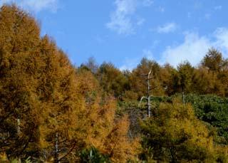 カラマツの秋