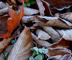 2016.11.13.枯れ葉に霜