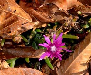 マツバギク/枯れ葉