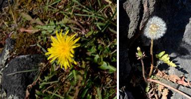 2016.11.22.タンポポ花と種