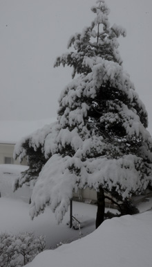 モミに雪17.1.9.