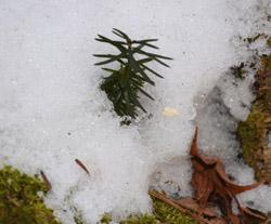 雪とモミの実生