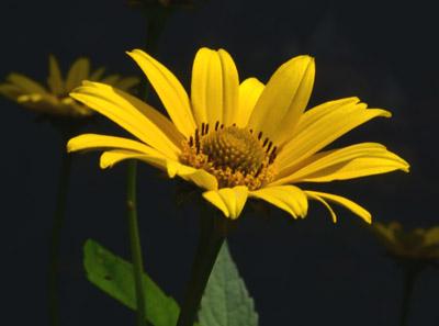 キクイモ開花