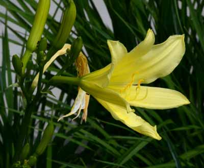 ユウスゲ開花