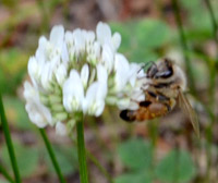 ミツバチとシロツメクサ