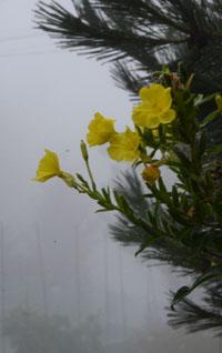 霧とマツヨイグサ