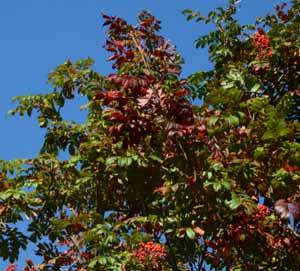 ナナカマド実と紅葉