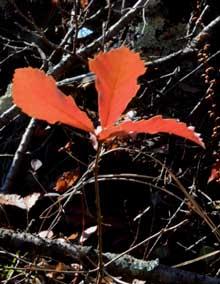 コナラ紅葉