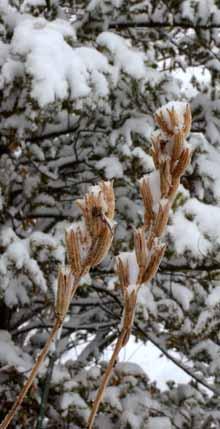 マツヨイグサと春雪