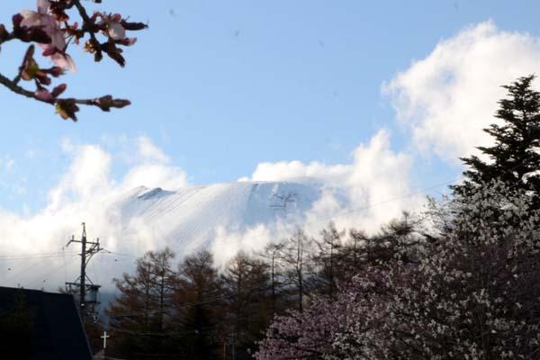 オオヤマザクラと浅間新雪