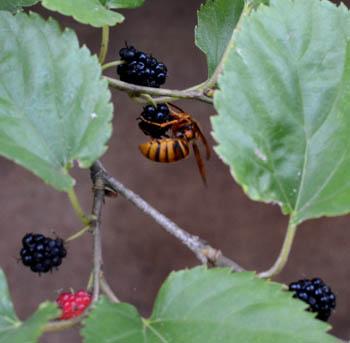 クワの実とスズメバチ
