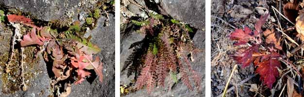 草の紅葉3種