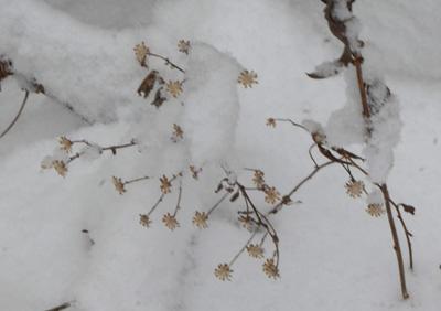 20190410雪ノコンギク