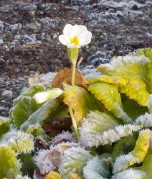 霜に耐えて咲く