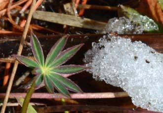雪とルピナス