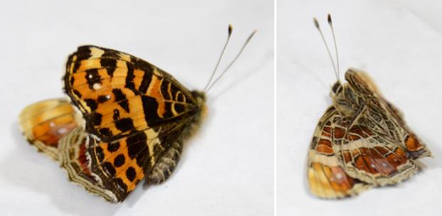 サカハチチョウ春型雌