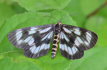 ミスジチョウに似た蛾