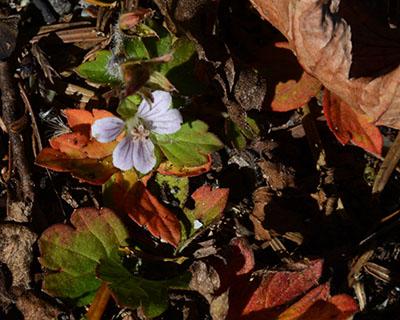 ゲンノショウコ花と紅葉