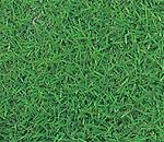 優れた品種特性を持つ日本芝/ ビクトール (ハイブリッド品種コウライタイプ)
