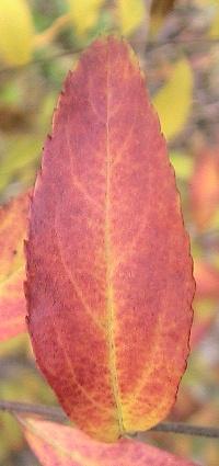 ユキヤナギ紅葉