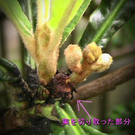 9/1撮影、ビワの実を収穫の後、もう次のつぼみが