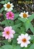 2011/7/24撮影、ジニア・プロフュージョン コーラルピンクは色変りする