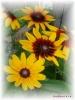 ルドベキアの花芯は出べそみたいでかわいい