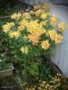 2012/11/13撮影、ネットを張って育てた 黄・和菊
