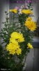 2012/12/14撮影、挿し芽里子菊 (手前はNo.10)開花No.11 八重咲き濃い黄色