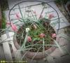原種チューリップとアネモネ寄せ植え