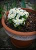 2013/4/1撮影 見切りマトリカリアをテラコッタ大鉢に植えつけ