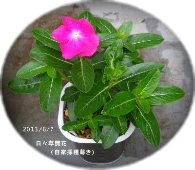 2013/6/7、日々草開花!マゼンダだった