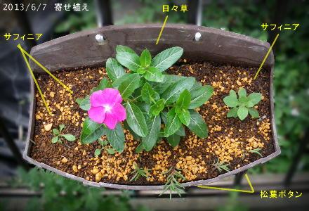 自家採種の日々草と、こぼれ種のサフィニアとマツバボタンで寄せ植え(2013/6/7)